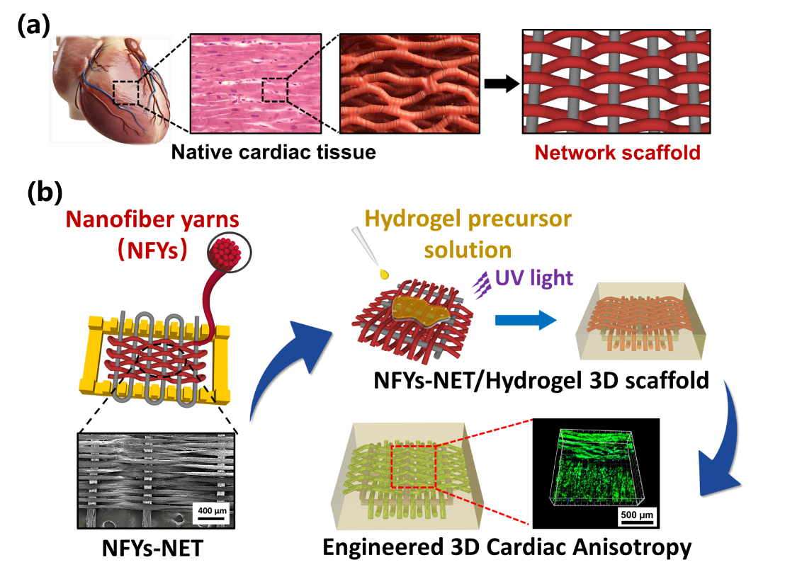 xjtu researchers improve 3d scaffold for cardiac tissue engineering